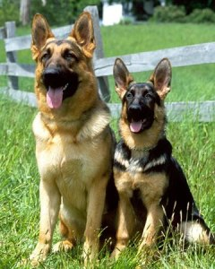 bestguarddogbreeds2